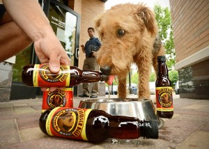 Mattie, a 1-1/2-year-old Airdale terrier, knocks back a Bowser Beefy Brown Ale at Bubbly Paws, a dog grooming parlor in St. Louis Park on Wednesday June 13, 2012. For now, it is the only business in Minnesota that sells the beverage created especially for dogs.   (Pioneer Press: Richard Marshall)